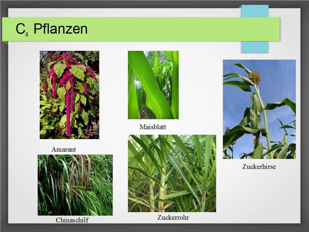 C3 und C4 Pflanzen - Unterschiede, Vorkommen und Verwendung ...